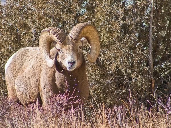 Bighorn sheep in estes park