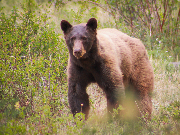 bears in estes park