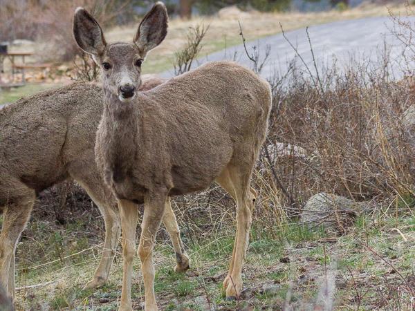 estes park elk and wildlife