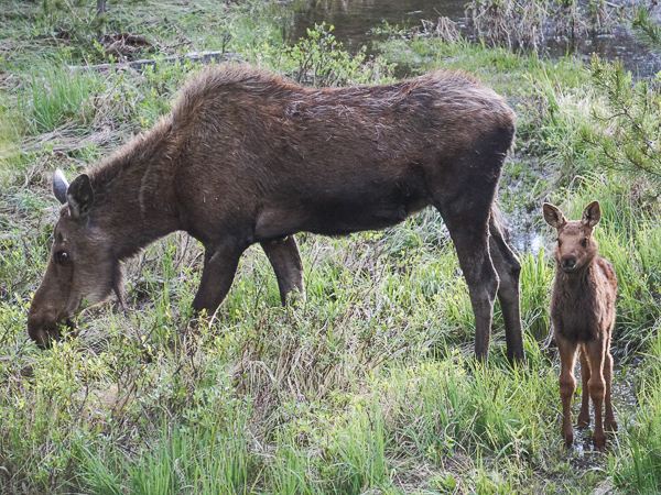 estes park elk and wildlife